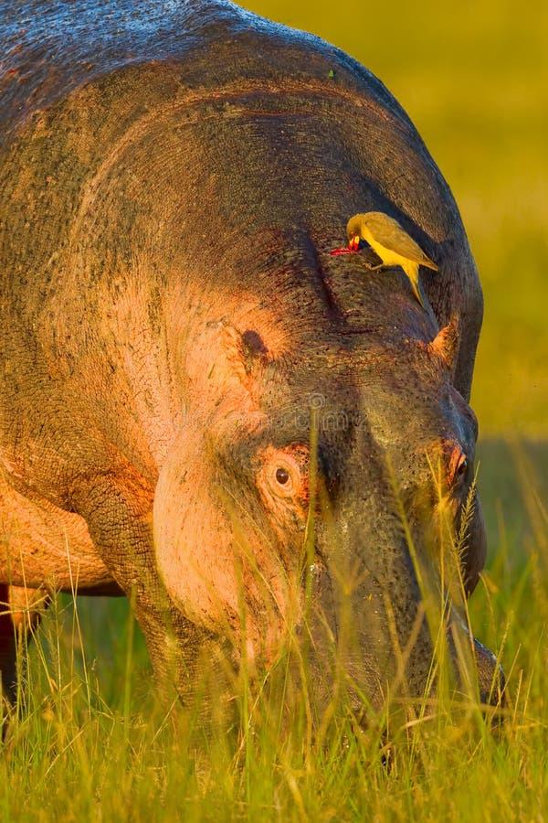 Flodhäst med Oxpecker som dricker blod royaltyfri bild