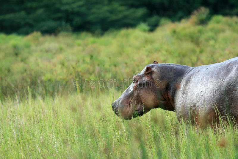 Flodhäst - Murchison faller NP, Uganda, Afrika arkivbilder