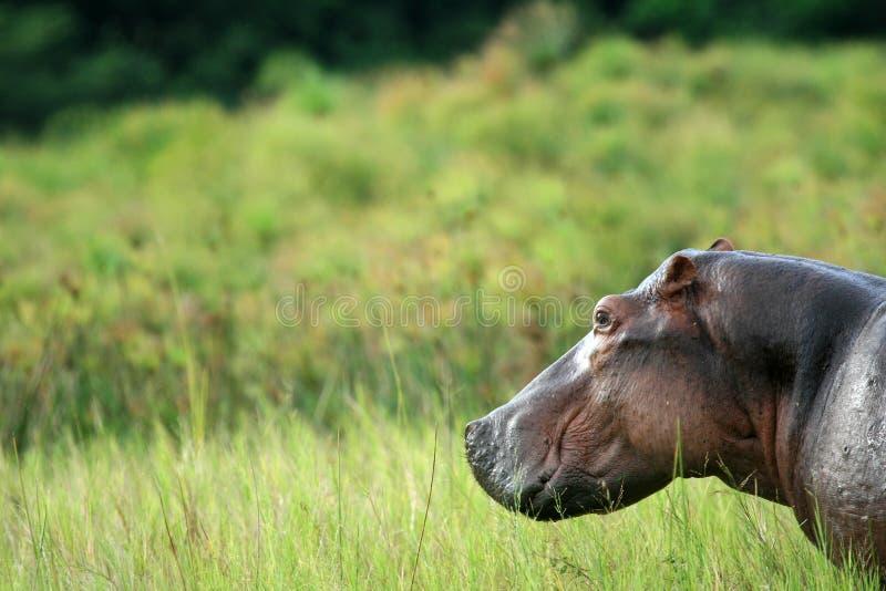 Flodhäst - Murchison faller NP, Uganda, Afrika royaltyfri foto