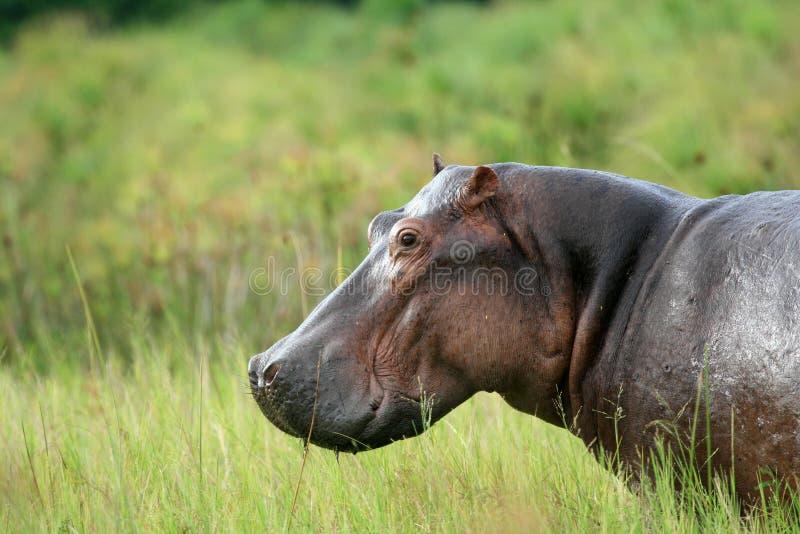 Flodhäst - Murchison faller NP, Uganda, Afrika royaltyfria foton
