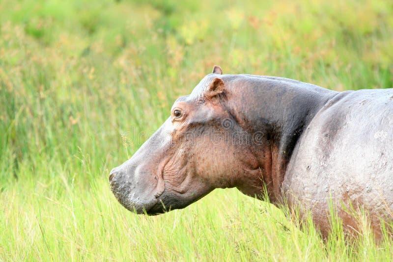 Flodhäst - Murchison faller NP, Uganda, Afrika royaltyfri bild