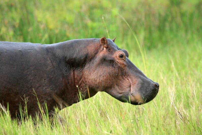 Flodhäst - Murchison faller NP, Uganda, Afrika arkivfoto