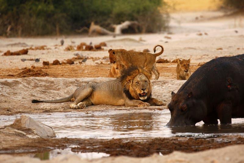 Flodhäst- och lejondödläge royaltyfri fotografi