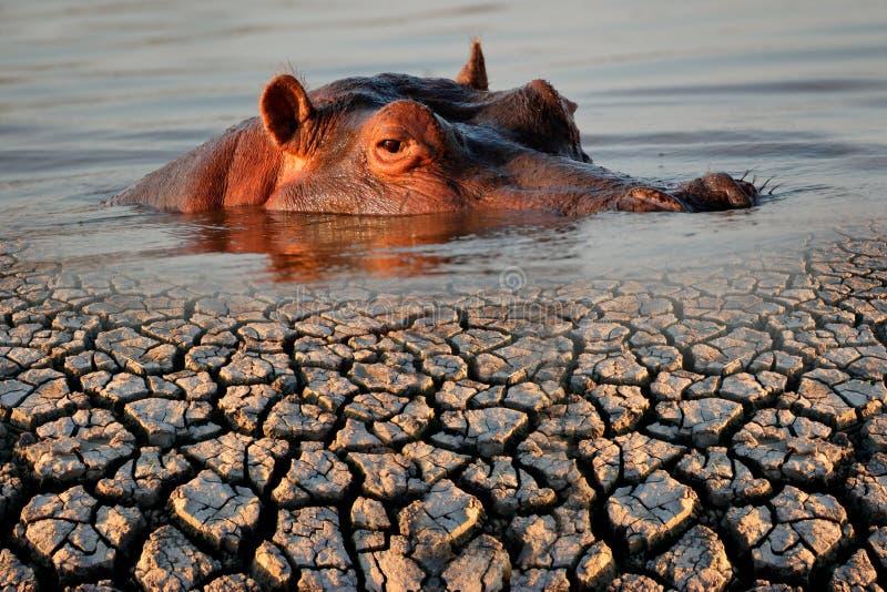 Flodhäst och torka fotografering för bildbyråer
