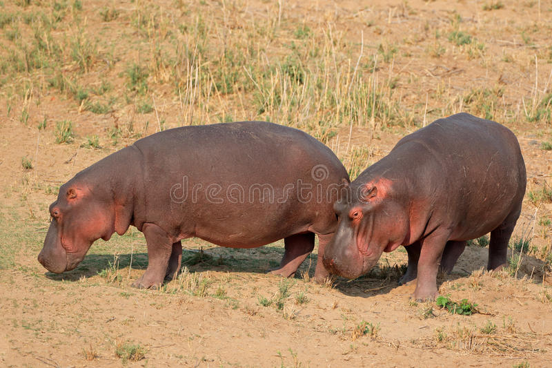 Flodhäst på land royaltyfri foto