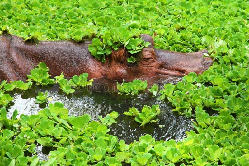 Flodhäst som går för ett bad royaltyfri fotografi