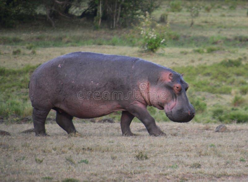 Flodhäst som går på slätten arkivfoto