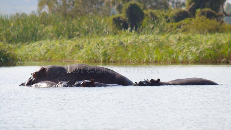 Flodhästar i den afrikanska laken fotografering för bildbyråer