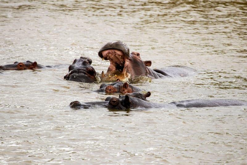 Flodhästar i vatten, ett med den öppna munnen vitt royaltyfria foton