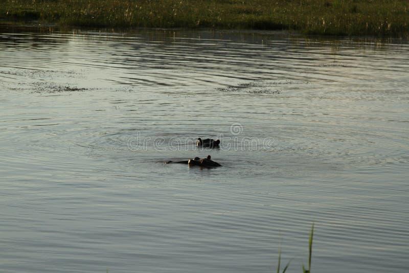 Flodhästar i vattnet arkivbild