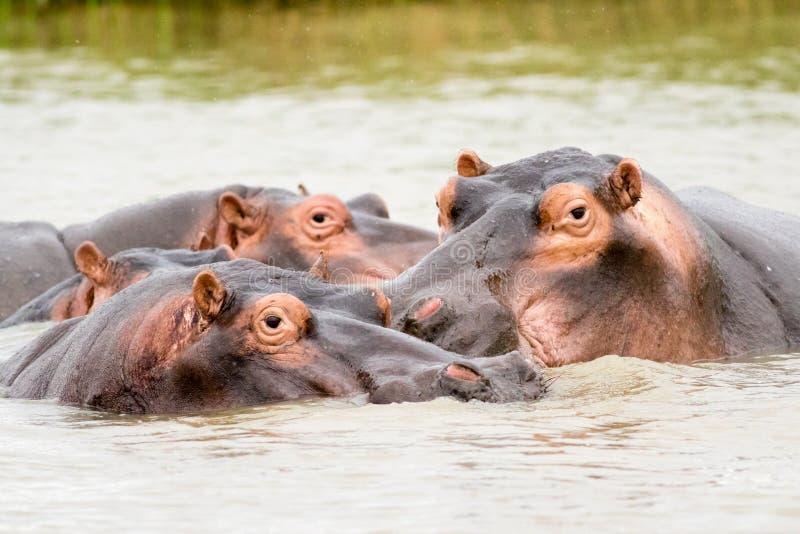 Flodhästar i vattnet fotografering för bildbyråer