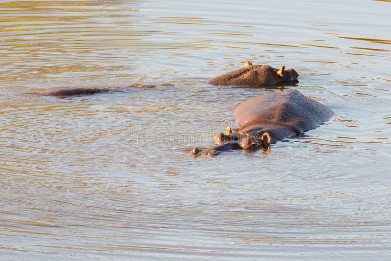 Flodhästar i vattnet, Kruger nationalpark royaltyfri bild