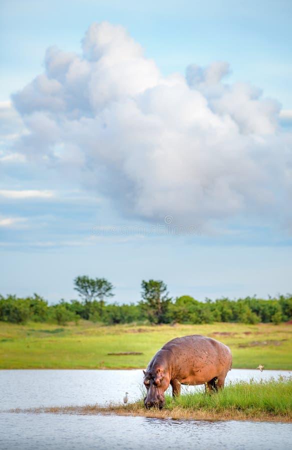 Flodhästdricksvatten i sjön Kariba Zimbabwe royaltyfri fotografi