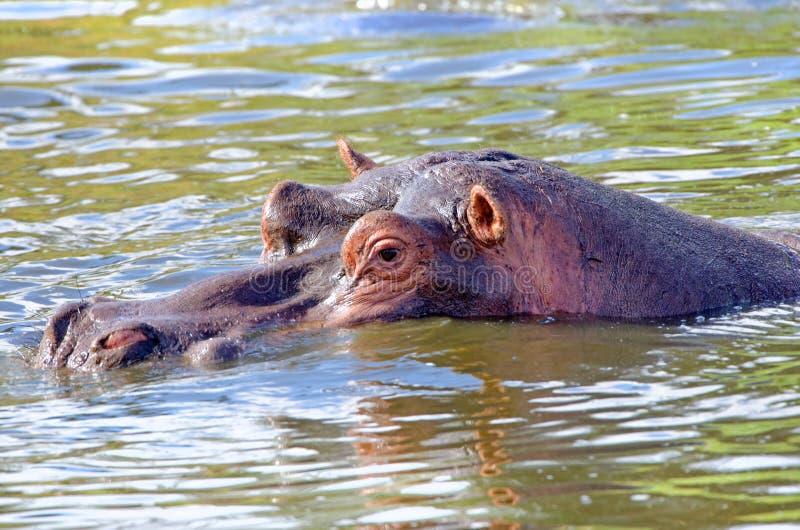 Flodhästen flodhästhalva doppade Kruger nationalpark, Sydafrika arkivfoton