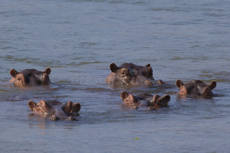 Flodhästfröskida i Zambeziet River royaltyfria bilder