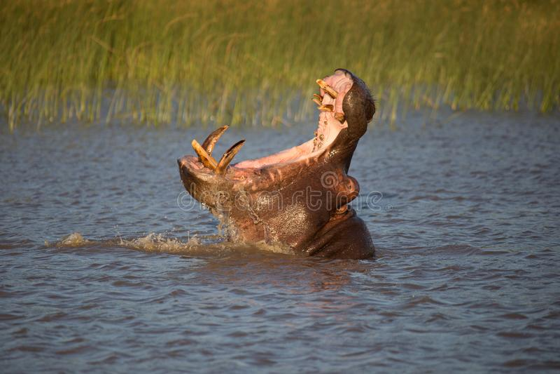 Flodhästgäspning royaltyfri fotografi