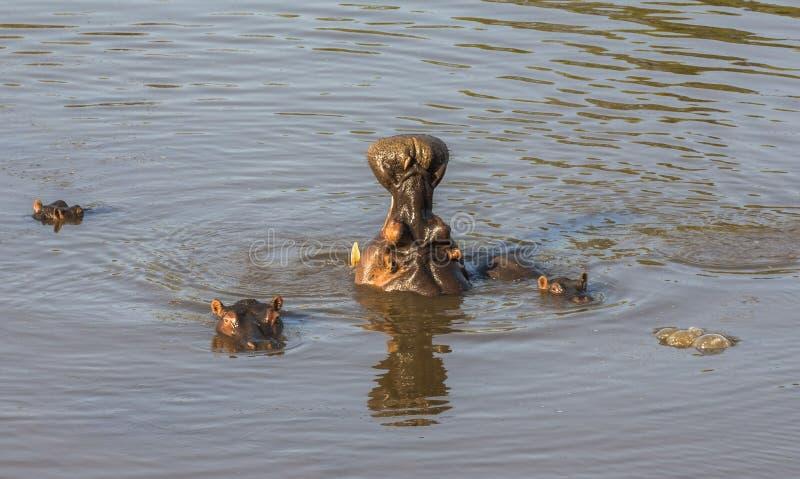 Flodhästgäspningen i vattnet, Kruger parkerar royaltyfri fotografi