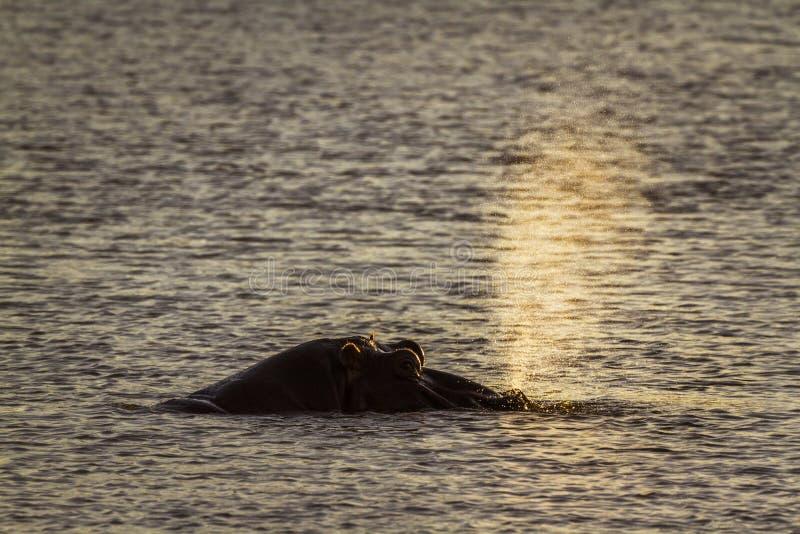 Flodh?st i den Kruger nationalparken, Sydafrika royaltyfria bilder