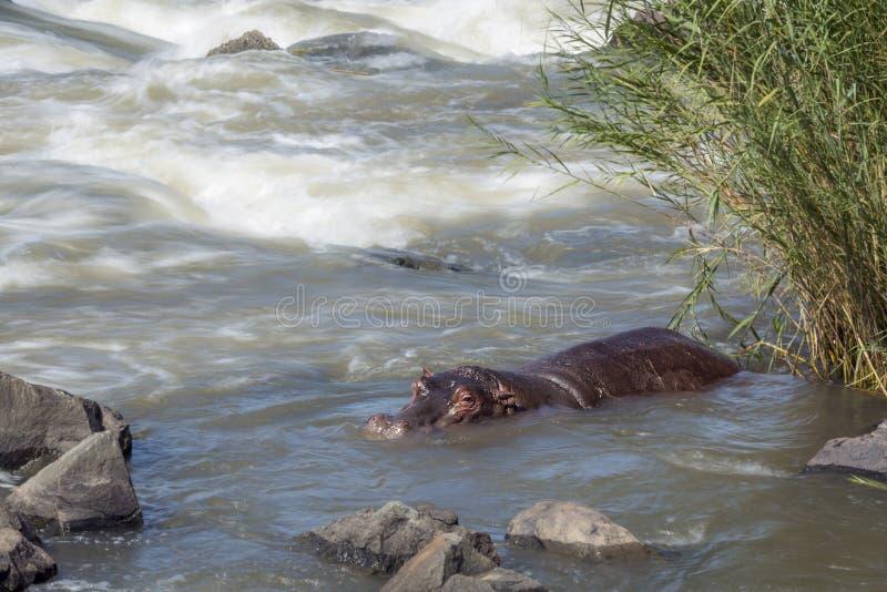 Flodh?st i den Kruger nationalparken, Sydafrika royaltyfri bild