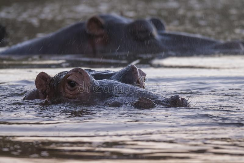 Flodh?st Kruger nationalpark royaltyfri fotografi