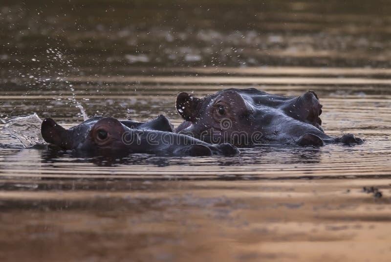 Flodh?st Kruger nationalpark arkivbilder