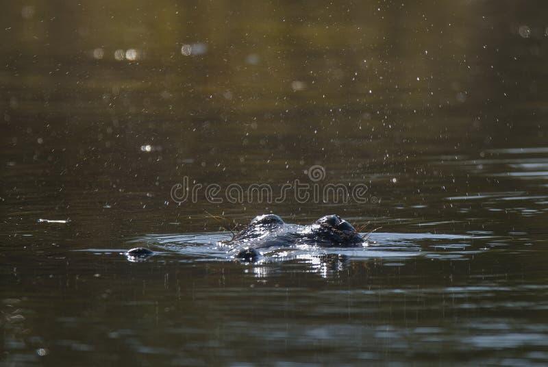 Flodh?st Kruger nationalpark fotografering för bildbyråer