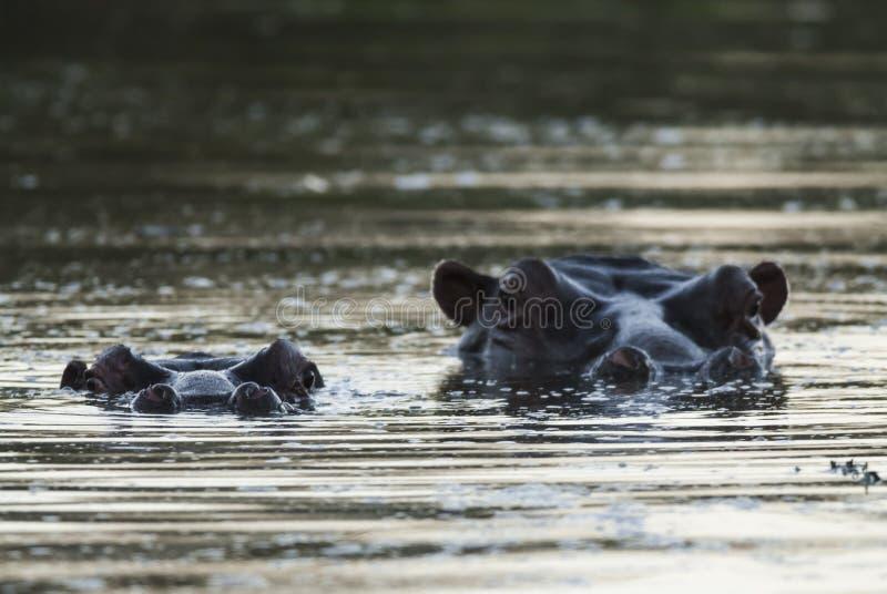 Flodh?st Kruger nationalpark royaltyfri foto