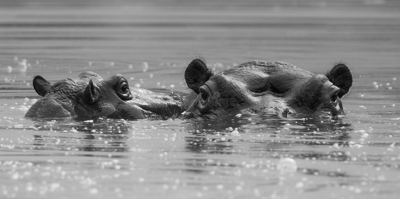 Flodh?st Kruger nationalpark arkivfoton