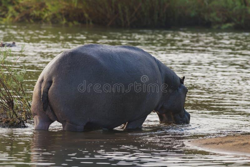 Flodh?st Kruger nationalpark arkivfoto