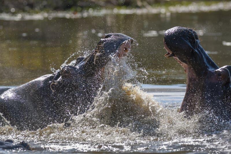 Flodh?st Kruger nationalpark royaltyfri bild