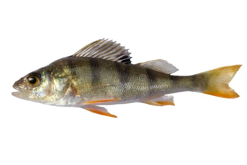 Flodsittpinnen som isolerades på vit bakgrund, gjorde randig småfiskbasen royaltyfri foto