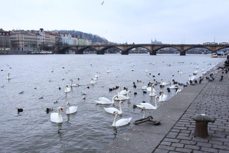 Flodstrand i Prague. Fåglar. Svanar och änder. royaltyfri foto