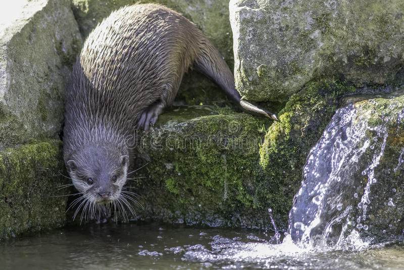 Flodstranddjurliv Asiatisk liten klöst utter vid vattenfallet i str arkivfoto