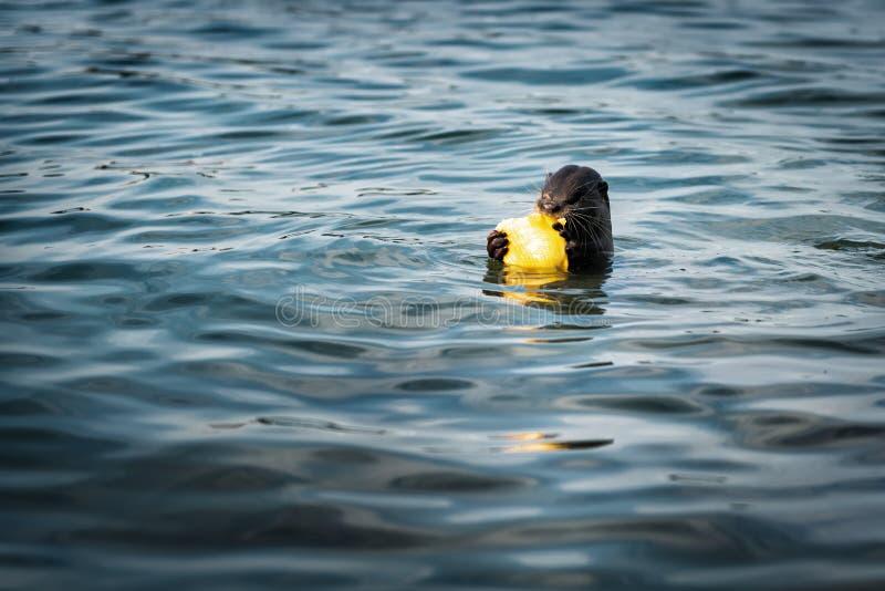 Floduttern äter fisken, medan simma i vattnet, naturligt djurt djurliv arkivbild