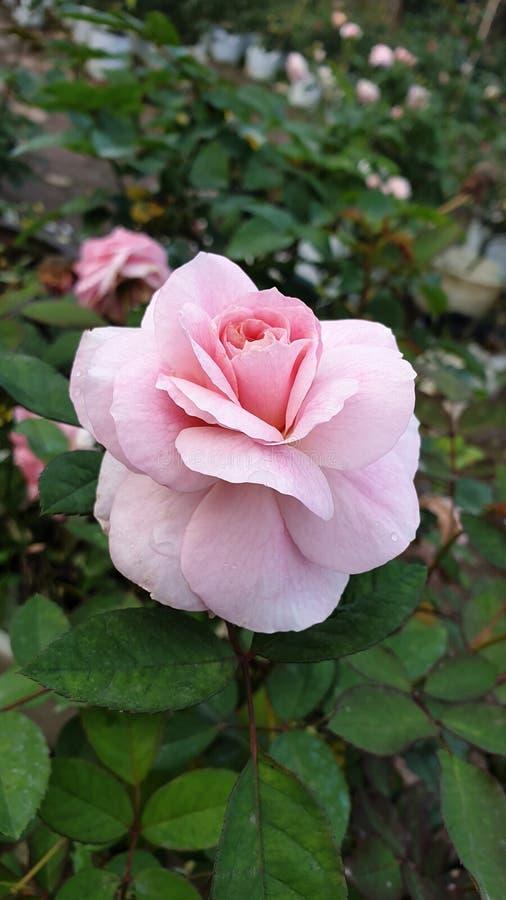 Floer Роза стоковые фотографии rf