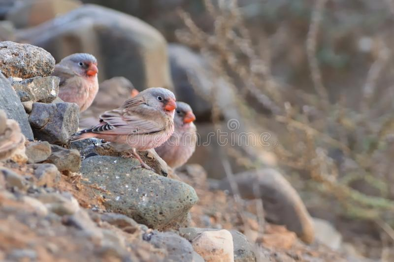 Flog of Trumpeter Finches - Bucanetes githagineus. Sitting on the rock, beautiful pink and gey song bird living in deserts and semi-deserts of the north Africa stock photography