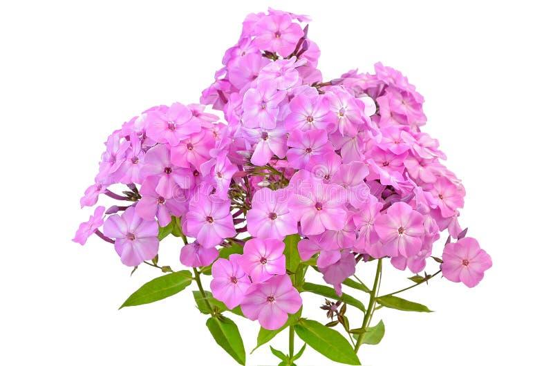 Floksów różowi kwiaty obrazy stock