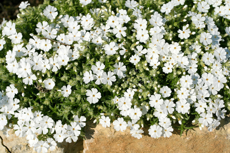 floksa białe kwiaty zdjęcia stock