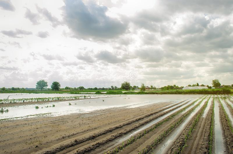 Flooded field as a result of heavy rain. Flood on the farm. Natural disaster and crop loss risks. Agriculture and farming. Ukraine. Kherson region. Leek stock photo