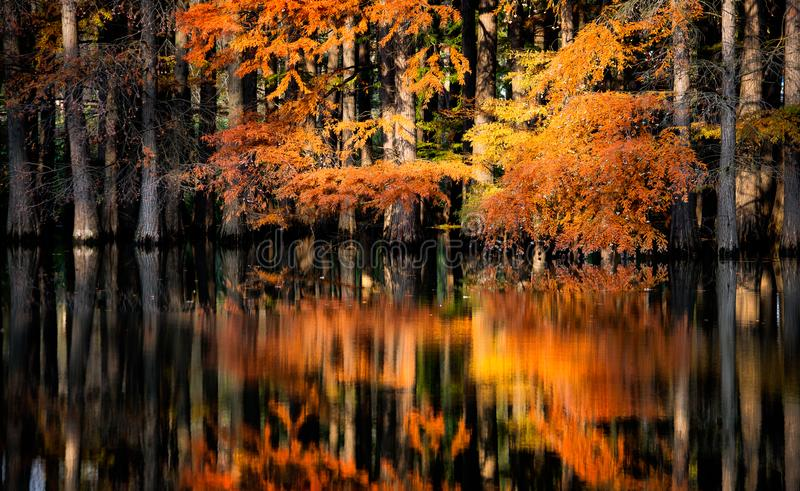 Flooded forest in autumn with lake reflection stock photo