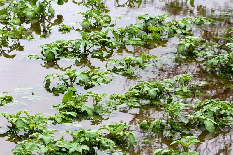 Flooded local urban garden filled with potato plants barely sticking out of water. On rainy spring day royalty free stock image