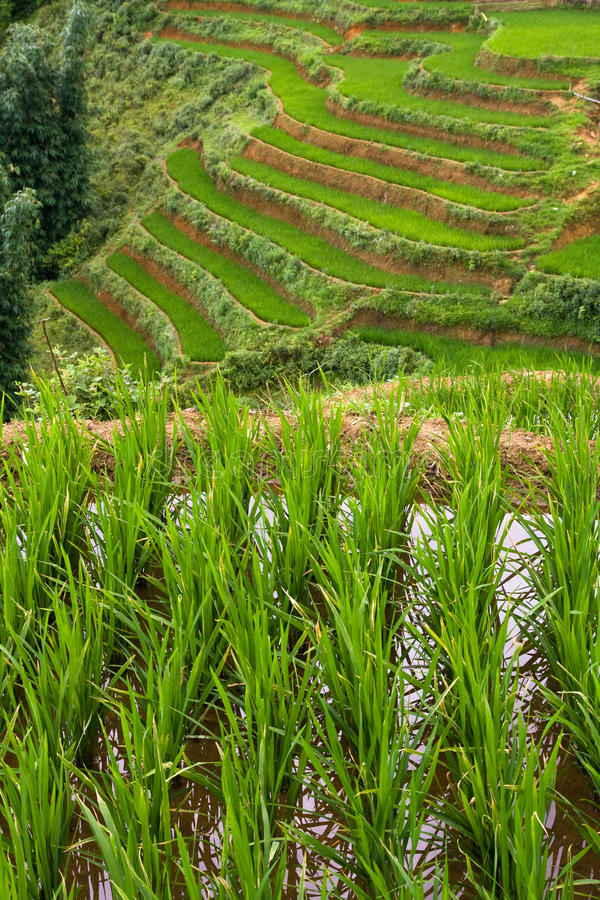 Flooded Rice Paddy Terraces stock photos