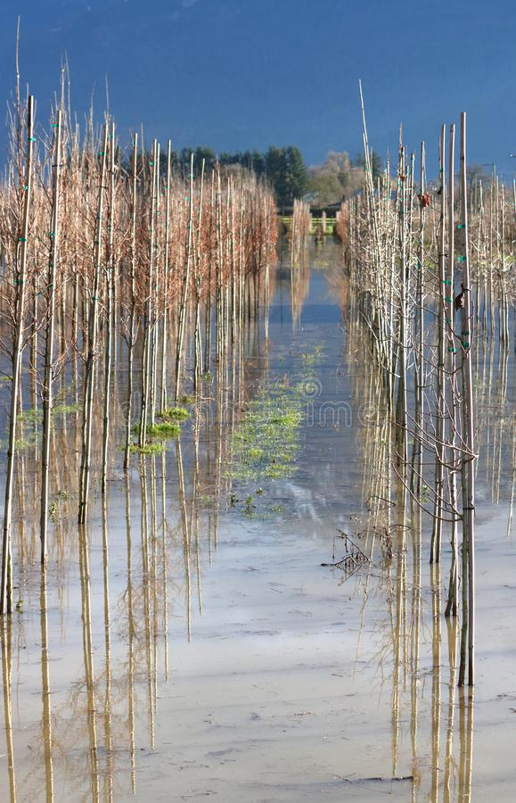 Flooded Tree Farm and Damage. Mature tree saplings are under water and risk damage on a farm after a major storm caused extensive flooding royalty free stock image