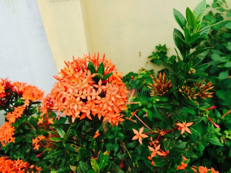 Floower anaranjado está floreciendo en luz del día foto de archivo libre de regalías