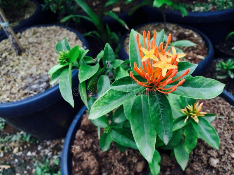 Floower anaranjado está floreciendo en luz del día imagen de archivo libre de regalías