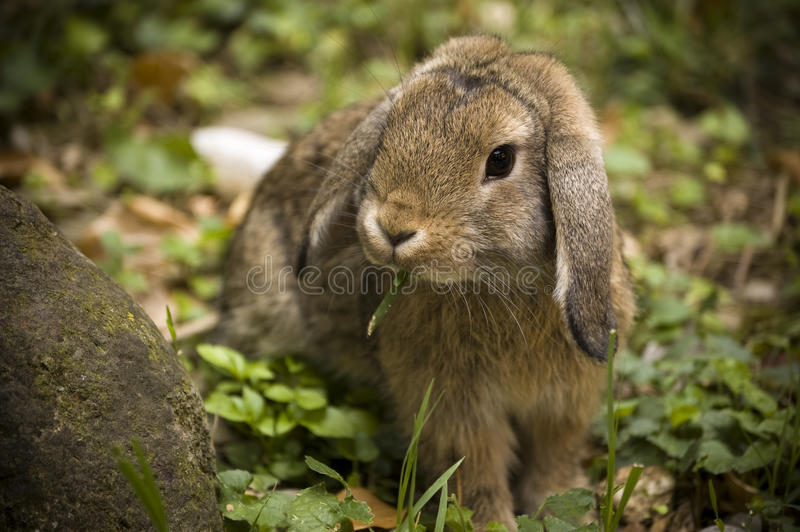 Floppy bunny stock images