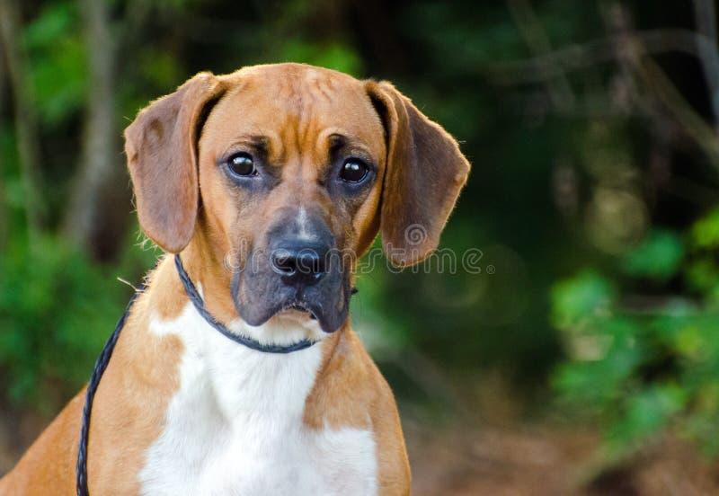 Floppy ears Beagle hound Dog mixed breed. Hound dog mixed breed, outdoor pet adoption photography, humane society, Walton County Animal Control royalty free stock photography