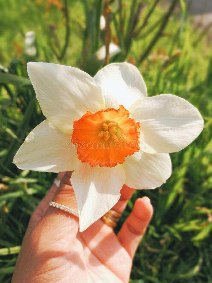 Flor à disposição foto de stock royalty free