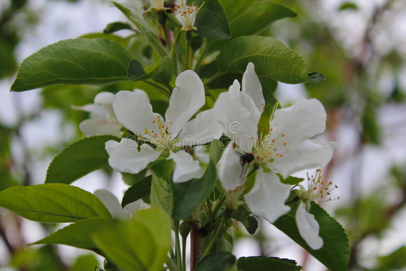 Flor, árvore, mola, branco, flor, natureza, verde, planta, jardim, flores, flor, ramo, maçã, cereja, macro, florescendo, closeu imagens de stock