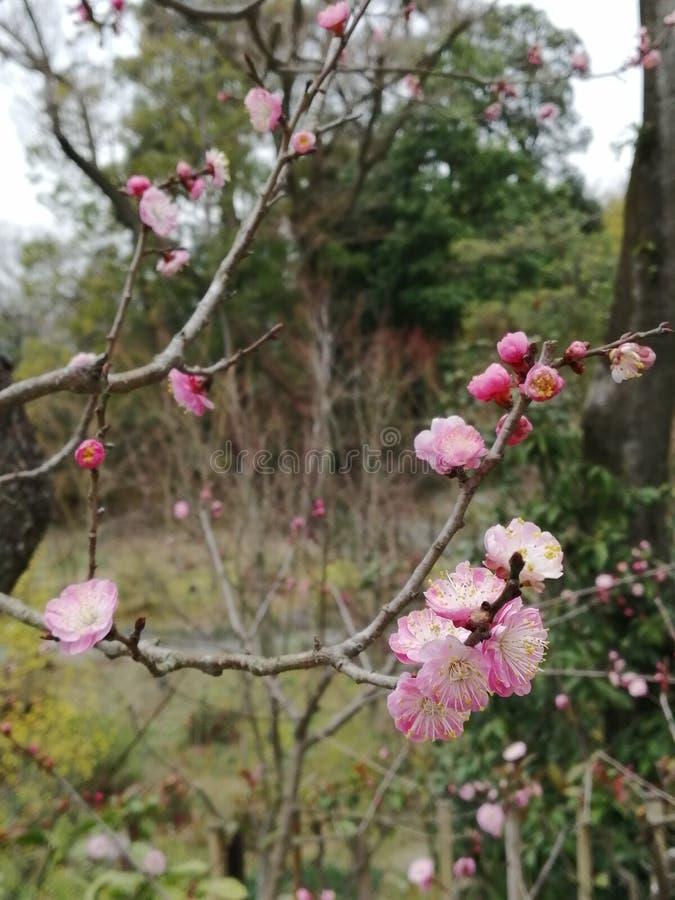 Flor 'Ume 'da ameixa em Fushimi Inari Taisha imagens de stock royalty free